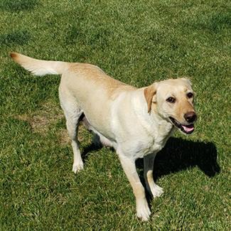 American Kennel Club – Certified Pedigree Labrador Retrievers